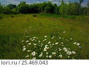 Купить «Marguerite / Oxeye daisy {Leucanthemum vulgare} + Ragged Robin, Buttercup, UK.», фото № 25469043, снято 25 апреля 2018 г. (c) Nature Picture Library / Фотобанк Лори
