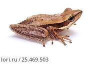 Купить «Slender Tree Frog (Litoria adelaidensis). Western Australia. Captive.», фото № 25469503, снято 6 августа 2020 г. (c) Nature Picture Library / Фотобанк Лори
