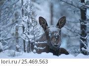 Купить «Moose in snow {Alces alces} Sarek NP. Lapland, Sweden.», фото № 25469563, снято 23 января 2019 г. (c) Nature Picture Library / Фотобанк Лори