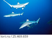 Купить «School of Blacktip sharks {Carcharhinus melanopterus}, Pacific.», фото № 25469659, снято 19 ноября 2018 г. (c) Nature Picture Library / Фотобанк Лори