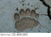 Купить «Kamchatka Brown bear (Ursus arctos beringianus) footprint in mud, Koryaksky Zapovednik, Russia.», фото № 25469683, снято 3 апреля 2020 г. (c) Nature Picture Library / Фотобанк Лори