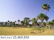 Купить «Buriti palm trees {Mauritia flexuosa} Tocantins, Brazil», фото № 25469859, снято 19 августа 2018 г. (c) Nature Picture Library / Фотобанк Лори