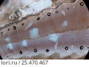 Купить «Queen scallop showing eyes {Chlamys opercularis}», фото № 25470467, снято 16 августа 2018 г. (c) Nature Picture Library / Фотобанк Лори