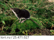 Купить «European water shrew {Neomys fodiens} on moss covered rock smelling the air. Captive. UK.», фото № 25471027, снято 6 августа 2020 г. (c) Nature Picture Library / Фотобанк Лори