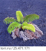 Купить «Amau fern, Hawaii.», фото № 25471171, снято 20 января 2020 г. (c) Nature Picture Library / Фотобанк Лори