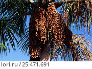 Купить «Palm tree nuts of Buriti palm tree {Mauritia flexuosa} Tocantins, Brazil», фото № 25471691, снято 19 августа 2018 г. (c) Nature Picture Library / Фотобанк Лори