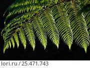 Купить «Black tree fern {Cyathea medullaris} North Is, New Zealand», фото № 25471743, снято 17 августа 2018 г. (c) Nature Picture Library / Фотобанк Лори