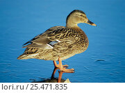 Купить «Mallard duck {Anas platyrhynchos} standing on ice. UK.», фото № 25471835, снято 20 января 2019 г. (c) Nature Picture Library / Фотобанк Лори