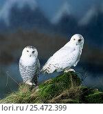 Купить «Snowy owl {Nyctea scandiaca} male-female pair. Captive», фото № 25472399, снято 19 октября 2019 г. (c) Nature Picture Library / Фотобанк Лори