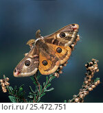 Emperor moth {Saturnia pavonia} male on heather UK. Стоковое фото, фотограф Kim Taylor / Nature Picture Library / Фотобанк Лори