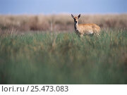 Pampas deer female {Oxotoceros bezoarticus} Campos del Tuyu, Argentina. Стоковое фото, фотограф Gabriel Rojo / Nature Picture Library / Фотобанк Лори