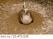 Купить «Blue footed booby at nest {Sula nebouxii} Machalilla NP, Ecuador», фото № 25473535, снято 26 марта 2019 г. (c) Nature Picture Library / Фотобанк Лори