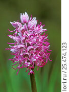Купить «Monkey orchid flower, {Orchis simia} France», фото № 25474123, снято 23 марта 2019 г. (c) Nature Picture Library / Фотобанк Лори