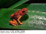 Купить «Poison arrow frog {Dendrobates sylvaticus} Choco forest, Ecuado», фото № 25474299, снято 20 мая 2019 г. (c) Nature Picture Library / Фотобанк Лори