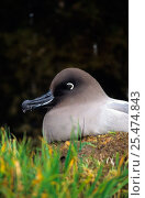 Купить «Light mantled sooty albatross sitting at nest, Possession Is, Crozet, {Phoebetria palpebrata}», фото № 25474843, снято 23 мая 2019 г. (c) Nature Picture Library / Фотобанк Лори