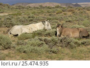 Купить «Mustang / Wild horse - grey stallion + filly resting, Wyoming, USA. Adobe Town HMA», фото № 25474935, снято 23 мая 2018 г. (c) Nature Picture Library / Фотобанк Лори