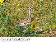 Купить «Juvenile Great bustards reintroduction programme on Salisbury plain, Wilts, 2004 {Otis tarda}», фото № 25475027, снято 20 июля 2018 г. (c) Nature Picture Library / Фотобанк Лори