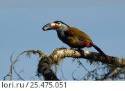 Купить «Plate-billed mountain toucan {Andigena laminirostris} Ecuador, Mindo Cloud forest», фото № 25475051, снято 27 июня 2019 г. (c) Nature Picture Library / Фотобанк Лори
