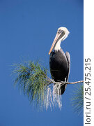 Brown pelican perched in pine tree {Pelecanus occidentalis} Sanibel Is, Florida, USA. Стоковое фото, фотограф Rolf Nussbaumer / Nature Picture Library / Фотобанк Лори