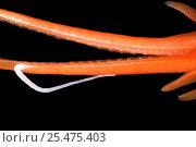 Купить «Deep sea Squid tentacles {Mastigoteuthis agassizi}, Gulf of Maine, Atlantic.», фото № 25475403, снято 16 октября 2019 г. (c) Nature Picture Library / Фотобанк Лори
