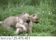 Купить «Arctic grey wolf cubs playing (2 months old) {Canis lupus} captive», фото № 25475451, снято 20 февраля 2020 г. (c) Nature Picture Library / Фотобанк Лори