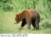 Купить «Juvenile Brown bear (18m-old) returned to rehabilitation centre after release, Russia. Will be relased again the following year 2003.», фото № 25475479, снято 16 июля 2019 г. (c) Nature Picture Library / Фотобанк Лори