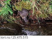 Купить «Platypus about to enter water {Ornithorhynchus anatinus} Tasmania», фото № 25475515, снято 20 июня 2019 г. (c) Nature Picture Library / Фотобанк Лори