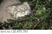 Young Pallas' cat (Otocolobus manul) hunting, captive, from Asia. Стоковое фото, фотограф Rod Williams / Nature Picture Library / Фотобанк Лори