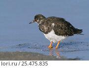 Купить «Turnstone with feathers fluffed up {Arenaria interpres} Belgium», фото № 25475835, снято 18 февраля 2019 г. (c) Nature Picture Library / Фотобанк Лори