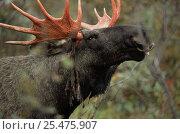 Купить «Moose bull rubbing velvet off antlers {Alces alces} Sarek NP, Sweden.», фото № 25475907, снято 18 января 2019 г. (c) Nature Picture Library / Фотобанк Лори