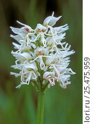 Купить «Monkey orchid flower, white morph {Orchis simia} France», фото № 25475959, снято 23 марта 2019 г. (c) Nature Picture Library / Фотобанк Лори