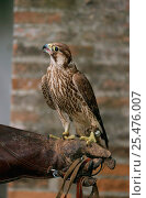 Laggar falcon perched on falconer's gloved hand {Falco jugger} Toscana, Italy. Стоковое фото, фотограф Staffan Widstrand / Nature Picture Library / Фотобанк Лори