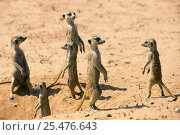 Купить «Suricates / Meerkats looking out in all directions Kalahari Gemsbok S Africa», фото № 25476643, снято 5 августа 2020 г. (c) Nature Picture Library / Фотобанк Лори