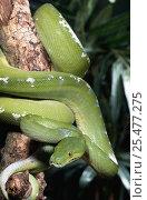 Green tree python {Chondopython viridis} captive. Стоковое фото, фотограф Mark Carwardine / Nature Picture Library / Фотобанк Лори