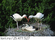 Купить «White stork pair with chicks at nest (Ciconia ciconia) Alsace, France», фото № 25477527, снято 11 января 2019 г. (c) Nature Picture Library / Фотобанк Лори