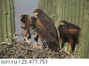 Harris hawk nest with chicks {Parabuteo unicinctus} in Saguaro cactus... Стоковое фото, фотограф John Cancalosi / Nature Picture Library / Фотобанк Лори