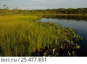 Купить «Successional growth on floating vegetation mat at lake edge, Amazonia, Ecuador», фото № 25477851, снято 15 августа 2018 г. (c) Nature Picture Library / Фотобанк Лори