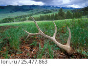 Shed antlers of Elk {Cervus elaphus} in Lamar valley, Yellowstone, USA. Стоковое фото, фотограф Philippe Clement / Nature Picture Library / Фотобанк Лори