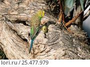 Budgerigar at nest hole {Melopsittacus undulatus} Simpson desert, NT, Australia. Стоковое фото, фотограф Dave Watts / Nature Picture Library / Фотобанк Лори