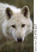 Купить «Arctic grey wolf {Canis lupus} Bayerisher wald NP, Germany, captive», фото № 25478827, снято 20 февраля 2020 г. (c) Nature Picture Library / Фотобанк Лори
