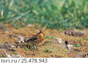 Red throated pipit {Anthus cervinus} Lesbos Greece. Стоковое фото, фотограф David Kjaer / Nature Picture Library / Фотобанк Лори