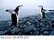 Купить «Chinstrap penguins flapping wings {Pygoscelis antarctica} Antarctica.», фото № 25479227, снято 19 января 2019 г. (c) Nature Picture Library / Фотобанк Лори