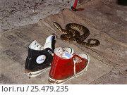 Купить «Fer-de-lance snake {Bothrops asper} beside boots, Guyana», фото № 25479235, снято 25 марта 2019 г. (c) Nature Picture Library / Фотобанк Лори