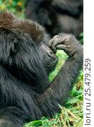 Купить «Mountain gorilla in rainforest {Gorilla beringei} Virunga NP. DR Congo», фото № 25479259, снято 24 апреля 2019 г. (c) Nature Picture Library / Фотобанк Лори