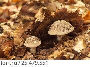 Купить «Stout amanita {Amanita excelsa} fungus Belgium», фото № 25479551, снято 20 августа 2018 г. (c) Nature Picture Library / Фотобанк Лори