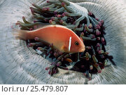Pink anemonefish {Amphiprion perideraion} in anemone, Lambeh, Sulawesi. Стоковое фото, фотограф Solvin Zankl / Nature Picture Library / Фотобанк Лори