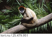 Купить «Black handed spider monkey {Ateles geoffroyi} captive, from Central America», фото № 25479951, снято 20 января 2020 г. (c) Nature Picture Library / Фотобанк Лори