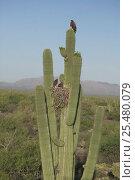 Harris hawks + nest on Saguaro cactus {Parabuteo unicinctus} Sonoran... Стоковое фото, фотограф John Cancalosi / Nature Picture Library / Фотобанк Лори