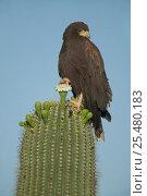 Harris hawk on Saguaro cactus {Parabuteo unicinctus} Sonoran desert... Стоковое фото, фотограф John Cancalosi / Nature Picture Library / Фотобанк Лори