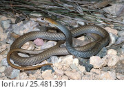 D - Olive whipsnake, male {Demansia olivacea} NT, Australia. Стоковое фото, фотограф Robert Valentic / Nature Picture Library / Фотобанк Лори